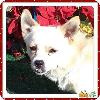 Pug/Beagle Mix Dog for adoption in Marietta, Georgia - ROBIN- also see BATMAN