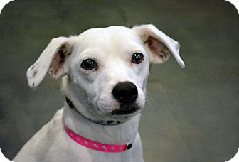Jack Russell Terrier Mix Dog for adoption in Cheyenne, Wyoming - Sadie