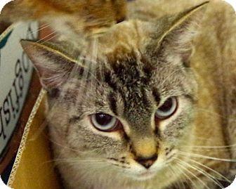 Siamese Cat for adoption in Daytona Beach, Florida - Sia