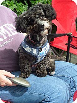 Poodle (Miniature) Mix Dog for adoption in Pleasanton, California - Karly