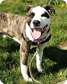 Pit Bull Terrier Mix Dog for adoption in Bellingham, Washington - Dirk