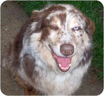 Australian Shepherd Dog for adoption in Overland Park, Kansas - Marley