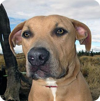 American Pit Bull Terrier Mix Puppy for adoption in Redmond, Oregon - Royce