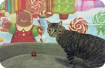 Domestic Shorthair Cat for adoption in Sewaren, New Jersey - Drizzle