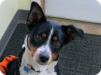 Australian Cattle Dog/Australian Shepherd Mix Dog for adoption in Republic, Washington - Junie