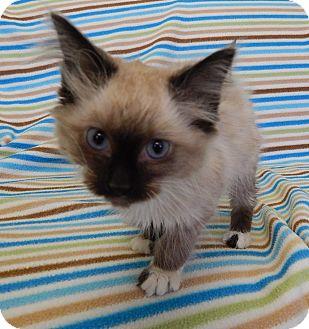 Ragdoll Kitten for adoption in Portland, Maine - Phoebe (LR)