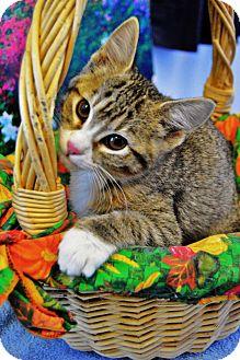 Domestic Shorthair Kitten for adoption in Buena Vista, Colorado - Inchy
