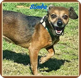 Chihuahua Mix Dog for adoption in Ahoskie, North Carolina - Simba