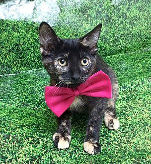 Domestic Shorthair Kitten for adoption in Hialeah, Florida - Vannie