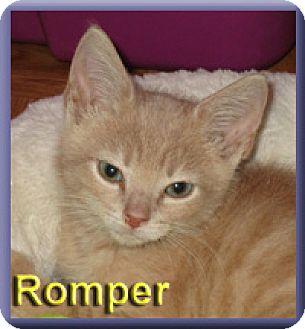 Domestic Shorthair Kitten for adoption in Aldie, Virginia - Romper