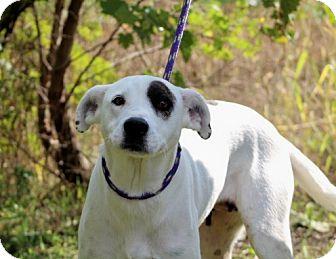 Labrador Retriever/Boxer Mix Dog for adoption in Liberty Center, Ohio - Janie