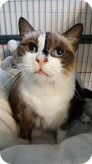 Ragdoll Cat for adoption in Freeport, New York - Moo Moo