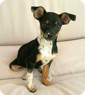 Chihuahua Mix Dog for adoption in Thousand Oaks, California - Stoli