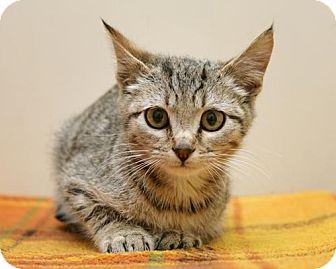 Domestic Shorthair Kitten for adoption in Bellingham, Washington - Sam