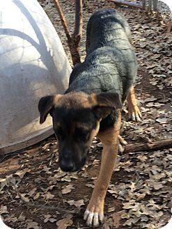 Retriever (Unknown Type)/Shepherd (Unknown Type) Mix Dog for adoption in Blanchard, Oklahoma - Alex