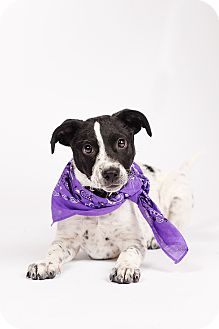 German Shorthaired Pointer/Australian Cattle Dog Mix Puppy for adoption in Ogden, Utah - Calibre