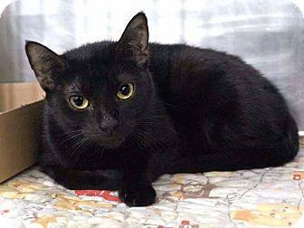 Domestic Shorthair Cat for adoption in Bloomingburg, New York - SPOT