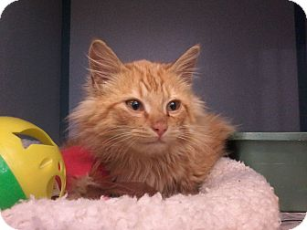 Maine Coon Kitten for adoption in Arlington, Virginia - Caleb-Adoption Pending