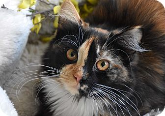 Maine Coon Cat for adoption in Bristol, Connecticut - Karma