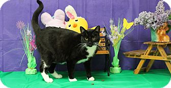Domestic Shorthair Cat for adoption in Stockton, California - Elsie