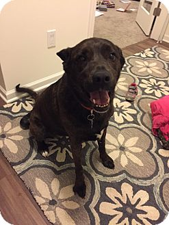 American Pit Bull Terrier/Hound (Unknown Type) Mix Dog for adoption in Waconia, Minnesota - Libby
