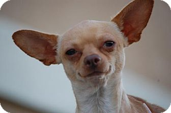 Chihuahua Mix Dog for adoption in Antioch, California - Benito