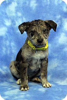 Shepherd (Unknown Type) Mix Puppy for adoption in Westminster, Colorado - Brutus