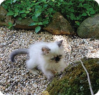 Himalayan Kitten for adoption in Broadway, New Jersey - Marmee