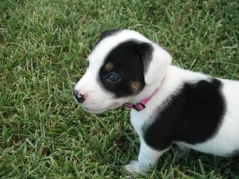 Canaan Dog Mix Dog for adoption in Kirby, Texas - Oreo