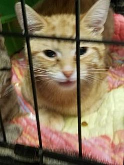 Domestic Shorthair/Domestic Shorthair Mix Cat for adoption in Anderson, Indiana - Ginger