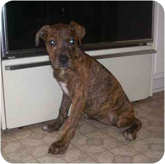 Great Dane/Boxer Mix Puppy for adoption in Evansville, Indiana - Angel