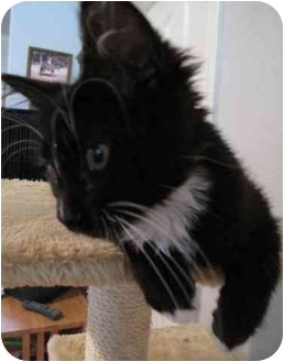 Maine Coon Kitten for adoption in Davis, California - Oreo