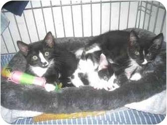 Domestic Shorthair Kitten for adoption in Quincy, Massachusetts - Kittens!