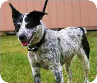 Australian Cattle Dog Mix Dog for adoption in Walker, Michigan - Gretel