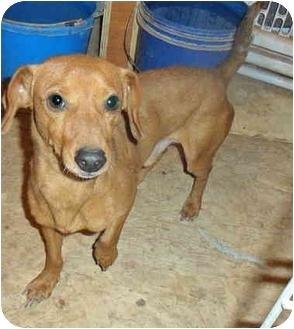 Dachshund Dog for adoption in Anton, Texas - Miles