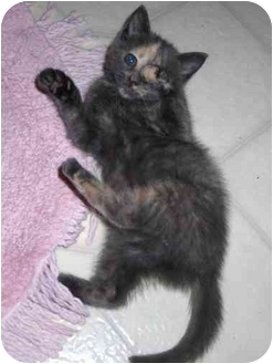 Domestic Shorthair Kitten for adoption in Richmond, Virginia - Darcey