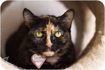 Domestic Shorthair Cat for adoption in Aldie, Virginia - Sally Mae