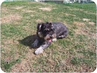 Schnauzer (Miniature) Dog for adoption in Algonquin, Illinois - Rosie