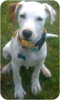 American Pit Bull Terrier/Jack Russell Terrier Mix Puppy for adoption in Blanchard, Oklahoma - Jackpot