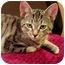 Photo 1 - Domestic Shorthair Kitten for adoption in N. Billerica, Massachusetts - Gunny