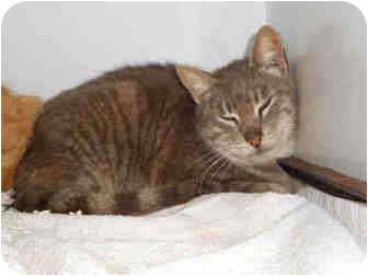 Domestic Shorthair Cat for adoption in Yuba City, California - Unknown Age, URGENT!