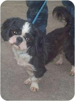 Shih Tzu Dog for adoption in Cumming, Georgia - Jazz