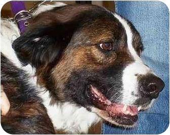 St. Bernard/Anatolian Shepherd Mix Dog for adoption in Overland Park, Kansas - Gracie
