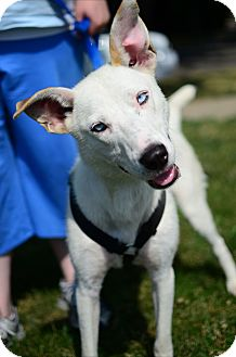 Husky Mix Dog for adoption in Chicago, Illinois - Prince