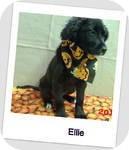 Irish Setter Mix Puppy for adoption in East Hartford, Connecticut - Ellie