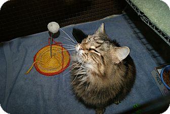 Maine Coon Cat for adoption in Trevose, Pennsylvania - Precious