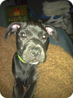 Terrier (Unknown Type, Medium) Mix Puppy for adoption in Astoria, New York - Tracy