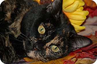 Domestic Shorthair Cat for adoption in Flower Mound, Texas - Ursula