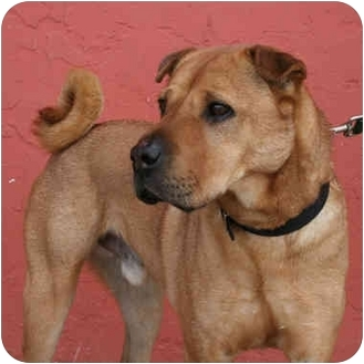 Shar Pei Mix Dog for adoption in Denver, Colorado - Homer