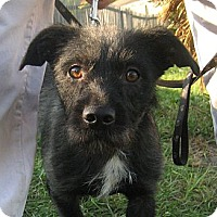 Adopt A Pet :: Scotty - Jacksonville, FL